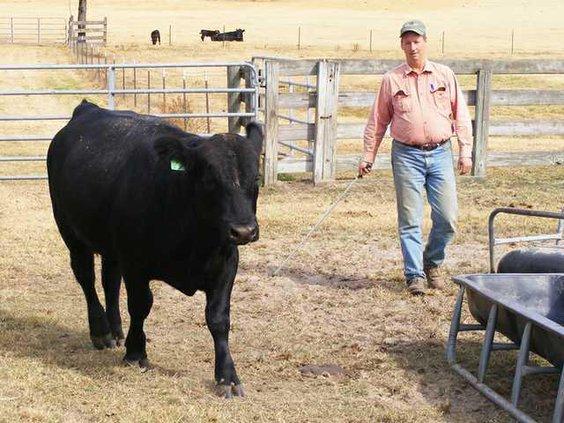 Davis Ranch-Donation Bull Web