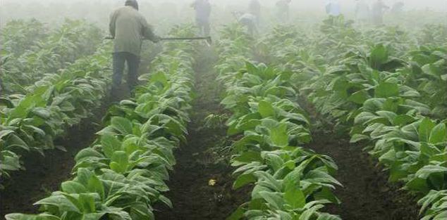 Tobacco Farming Heal