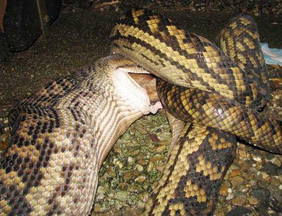 Australia Snake Att 5578414