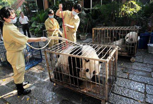 China Quake Pandas 5461871