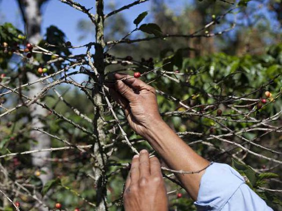 Coffee Plant Disease Heal