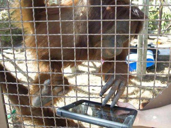 Orangutans IPADS