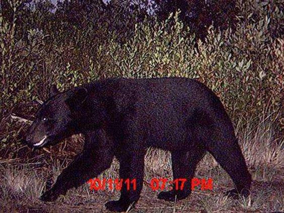 W Bear 4