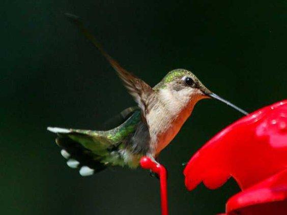 Hummingbird Eddie W