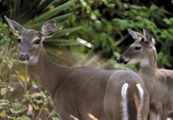 Jekyll Island Deer Heal 1
