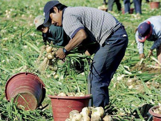 Onion field Web