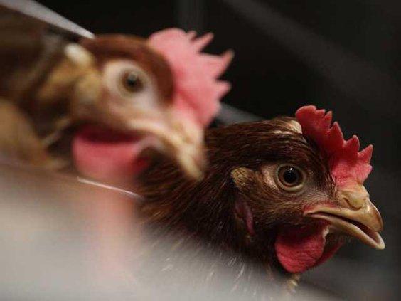 EU Chicken W