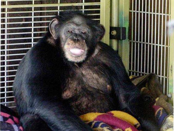 Chimpanzee Attack Heal