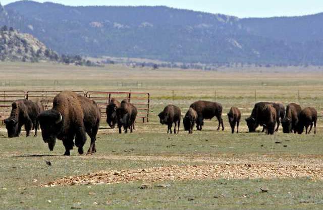 Bison Slaying COEA1 7766055