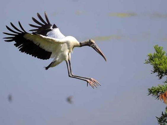 W APTOPIX Stork Resurge Heal