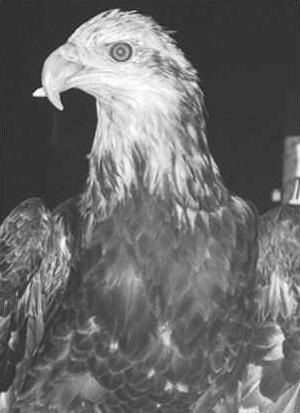 FreedomTheEagle