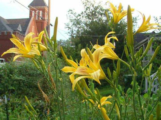 wdaylilies