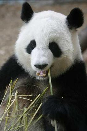 Panda photo Heal