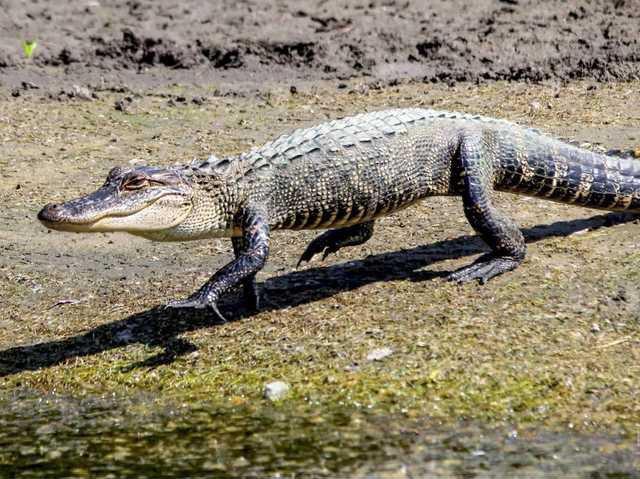 Video Massive Alligator Spotted At The Club At Savannah Harbor News Savannah Morning News Savannah Ga