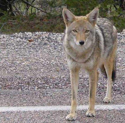 Coyote arizona