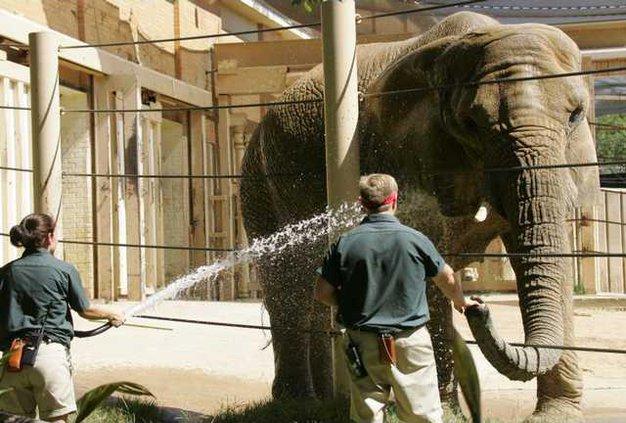Elephant Fight DN10 7387953