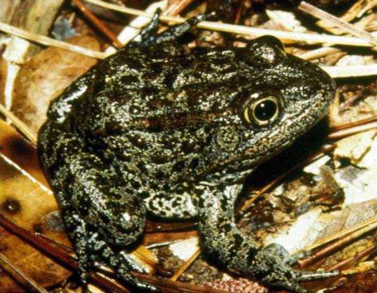 Endangered Frog Breed Heal