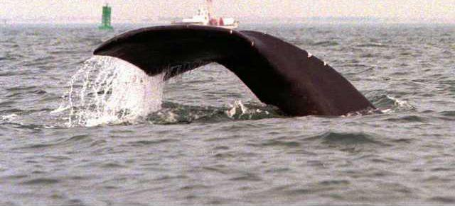 Endnagered Whales W 5701363
