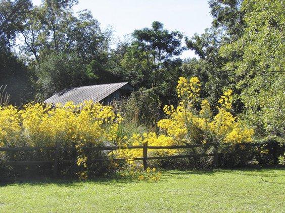 swampsunflowers