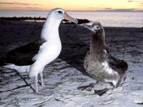 Hooked Albatross AK 6360155