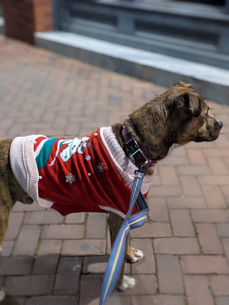 A foster dog is dressed up in holiday style for Savannah's Dec. 18 Pack Walk event held by Renegade Paws Rescue.