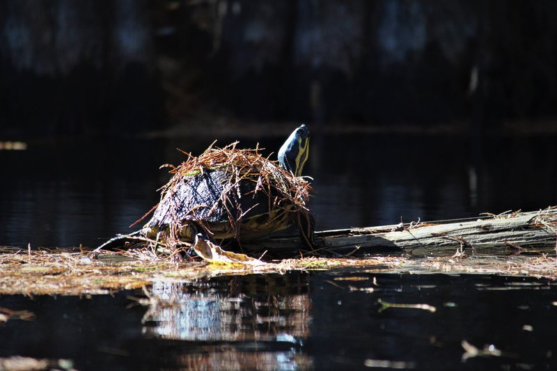 Wesley Hendley's photo of a pond slider turtle won in the Funny Wildlife category in the Ogeechee Riverkeeper photo contest.